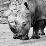 How Much Do You Know About The White Rhino?